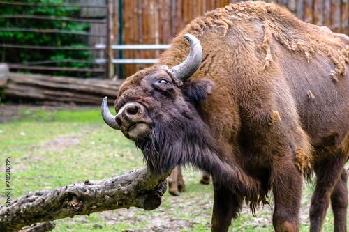 Valokuva  Auroch, animal in zoo