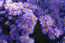 Bright Violet Flowers Of Micha...
