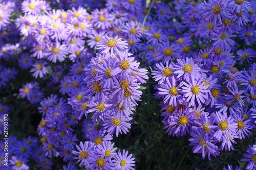 Photo Bright violet flowers of Michaelmas daisies in autumn