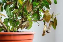 Sick Gardenia Plant With Falli...