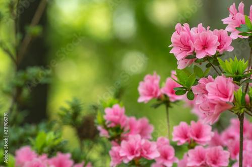 Foto op Canvas Azalea ピンク色のツツジ