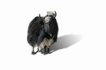 Yak In Nepal, Isolated With Clipping Path