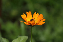 Bee In The Flower Of Marigold (Calendula Officinalis). Bee Inside Of Orange Coloured Flower In Shine Of The Sun.