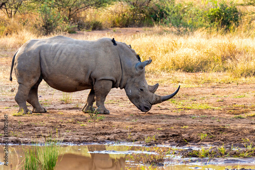 Fototapeta White rhinoceros Pilanesberg, South Africa safari wildlife