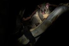 Common Brush-tailed Possum - T...