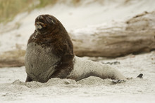 New Zealand Sea Lion - Phocarctos Hookeri - Whakahao Lying On The Sandy Beach In The Waves In The Bay In New Zealand