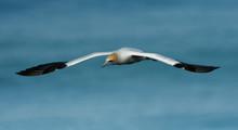Sula Serrator - Australian Gannet - Takapu Flying Above The Nesting Colony In New Zealand