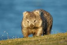Vombatus Ursinus - Common Wombat In The Tasmanian Scenery, Eating Grass In The Evening On The Island Near Tasmania