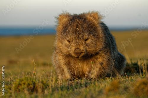 Fotografie, Obraz  Vombatus ursinus - Common Wombat in the Tasmanian scenery, eating grass in the e
