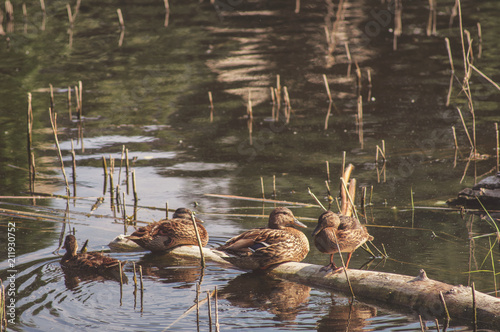 A flock of young ducks rest on the lake. Wild living nature of Russia