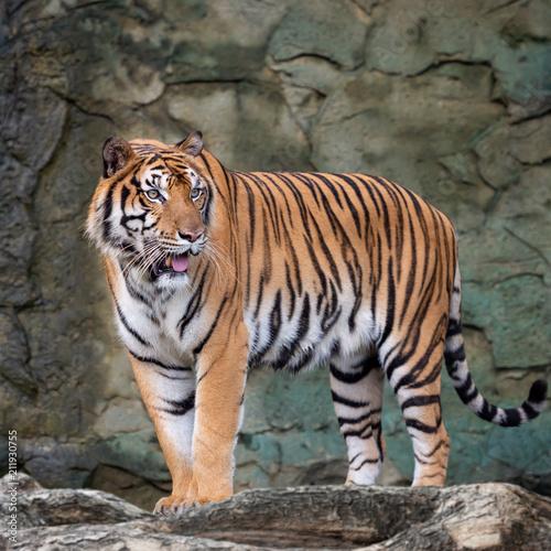 Fotografie, Obraz  Close up tiger.