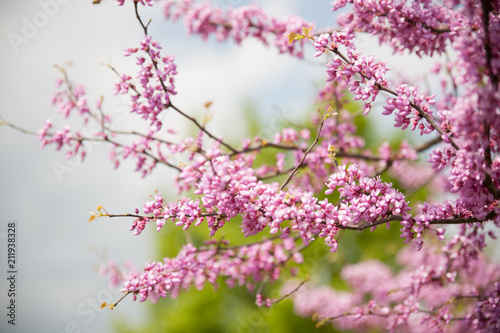 Photo  Cercis griffithii (Eastern redbud) is a large deciduous shrub or small tree, native to eastern North America from southern Ontario,Canada south to northern Florida