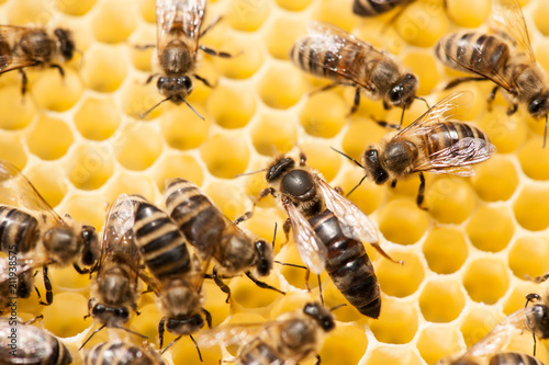 Bee mother on honeycomb with surrounded  honeybees layong eggs