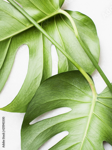 Fototapeta Monstera leaves, close up