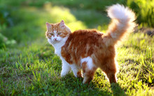 Cat In Green Grass In Summer. Beautiful Red Cat With Yellow Eyes