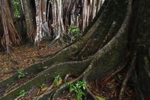 Banyan Fig Trees Ficus Benghalensis
