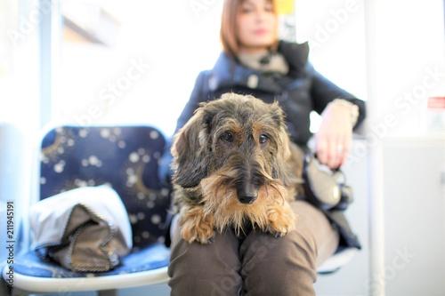 Fényképezés Cane bassotto seduto sul BUS