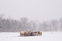 Herd Of Cows And Sheep Huddled Together In Field During Snowstorm