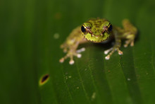 Chinese Tree Frog