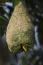 Black-breasted Weaver On Its Nest