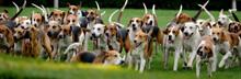 Large Group Of Fox Hounds At Country Show.