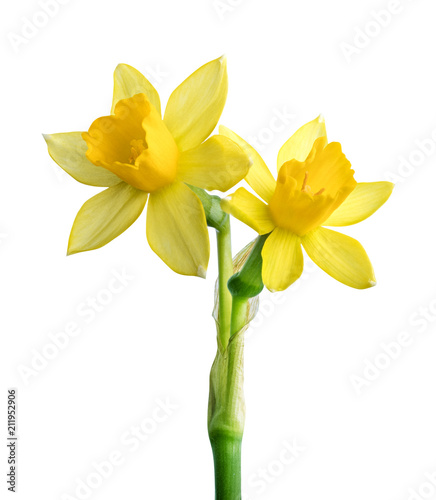 Deurstickers Narcis Fresh narcissus isolated on white background. Clipping path