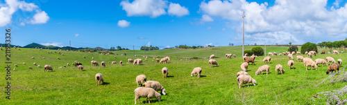 Poster Schapen Schafe auf einer Weide