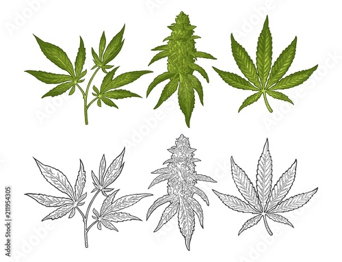 Photo Marijuana mature plant with leaves and buds