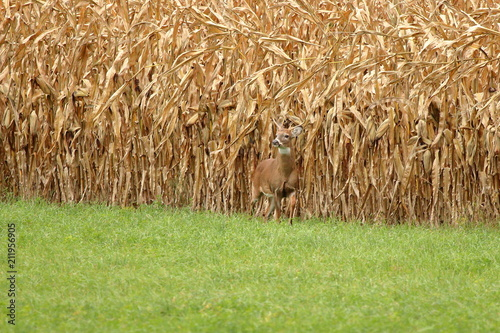 A Whitetail Buck pauses at the edge of a field of ripened feed corn.
