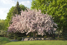 Beautiful Flowering Crabapple ...
