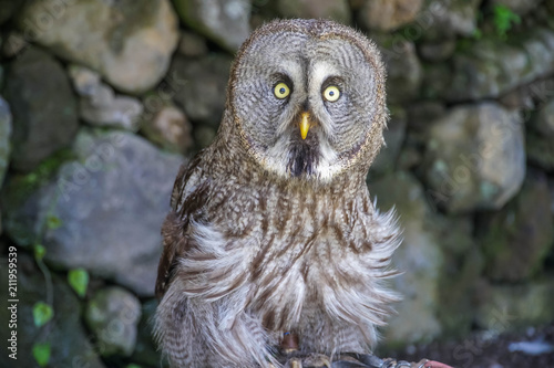 Poster Uil Great Grey Owl (Strix nebulosa)