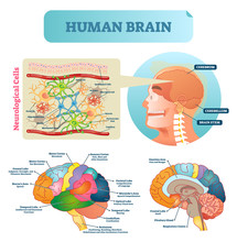 Brain Vector Illustration. Medical Educational Scheme With Neurological Cells Closeup. Silhouette With Cerebrum, Cerebellum And Stem. Cortex And Lobe Diagram.