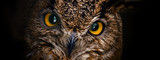 Fototapeta Zwierzęta - Yellow eyes of horned owl close up on a dark background.