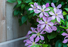Violet Clematis Flowers Next To Fence