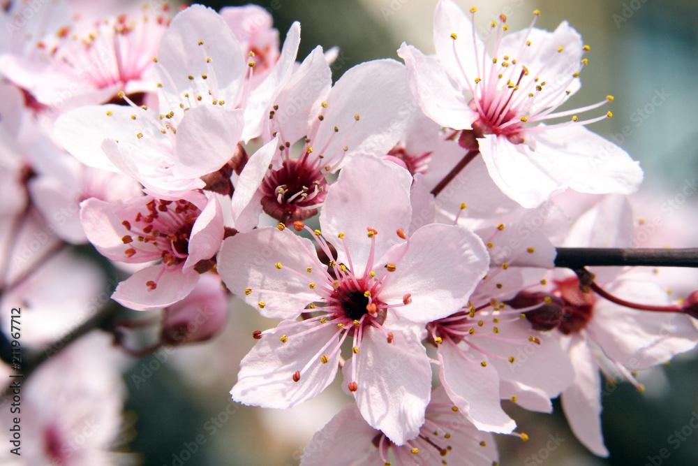 Fototapety, obrazy: fioritura primaverile del ciliegio