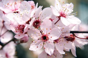 Obraz na Szklefioritura primaverile del ciliegio