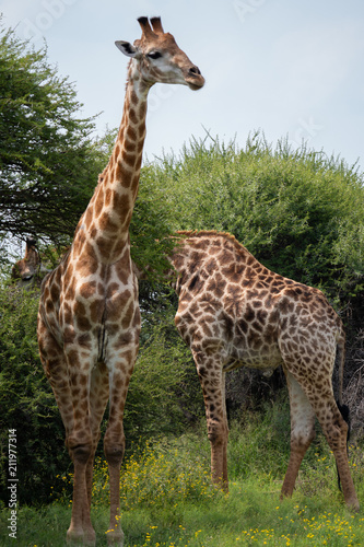 Foto op Plexiglas Leeuw Amazing Wildlife Safari Experience at a Game Reserve in South Africa : Giraffe, the tallest living terrestrial animals and the largest ruminants.