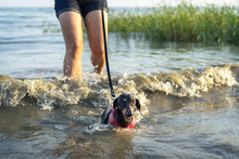 Training Dogs To Swim. The Dachshund In The Harness Swims Into The Sea, To Strengthen The Muscles Of The Back