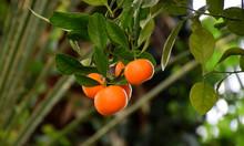 Calamondin Fruits On Tree, Cit...