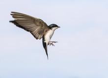 Tree Swallow (Tachycineta Bicolor) Flying, Iowa, USA