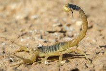 Deathstalker Scorpion, Or Isra...