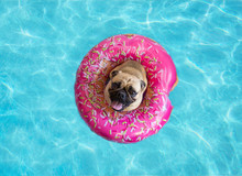 Cute Pug Dog Floating In A Swi...