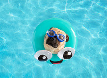 Cute Pug Dog Wearing Goggles, ...