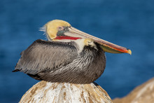 Brown Pelican Resting On A Rock By The Ocean