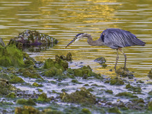 Golden Moments, Great Blue Heron, Seabeck Bay, WA