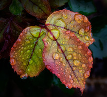 Rose Leaves Of Gold, Red, And ...