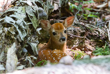 Cute Whitetail Fawn Laying Dow...