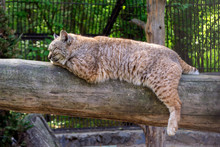 The Red Lynx Bobcat Sleeps Lying On A Horizontal Log Dangling Its Paws And Closing His Eyes On A Clear Sunny Afternoon