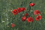 Fototapeta Kwiaty - Czerwono pośród traw
