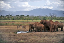 Elephants In The Tsavo National Park In Kenya